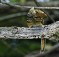 Canadian Wildlife Federation: Chipmunk