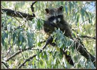 Canadian Wildlife Federation: Raccoon